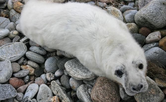 Image:Seal pup, Uist